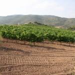 Des vignes sur le Camino